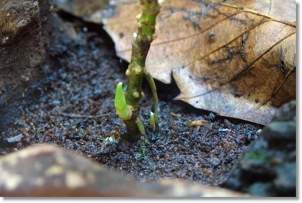 ビバリウムに植えられたアグラオネマ ピクタム