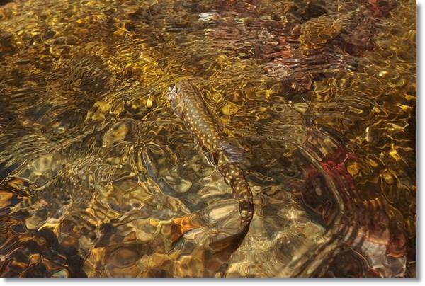 釣り上げて水の中から姿を現したイワナ