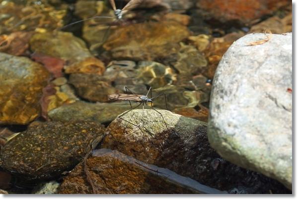 水辺の石の上にとまるガガンボ