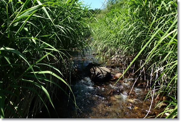 河原にヨシが覆い茂る渓流