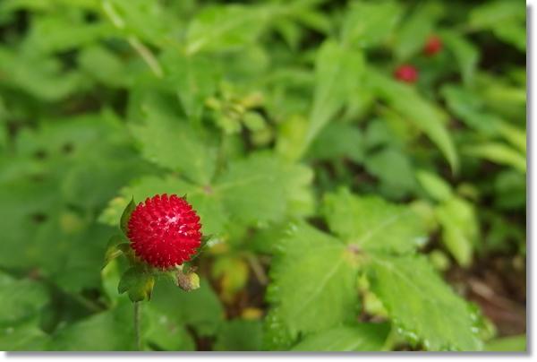 ミツバと真っ赤なヘビイチゴ