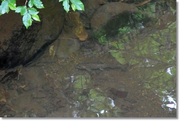 水溜りの中を泳ぐイワナ