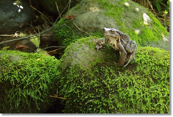 苔むした石の上に鎮座するヒキガエル