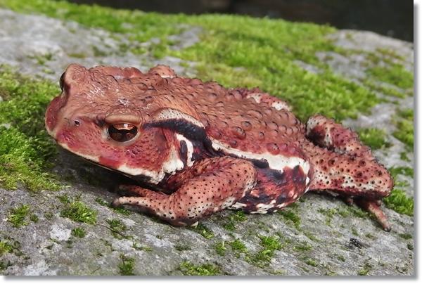 岩にへばりつく赤いヒキガエル