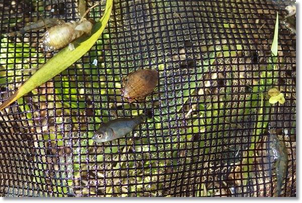 網に入ったコオイムシとフナ