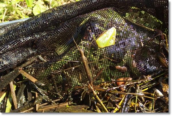 網に入ったミズカマキリ