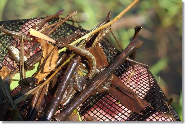 網の上のゲンゴロウの幼虫