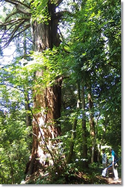 里山の巨木