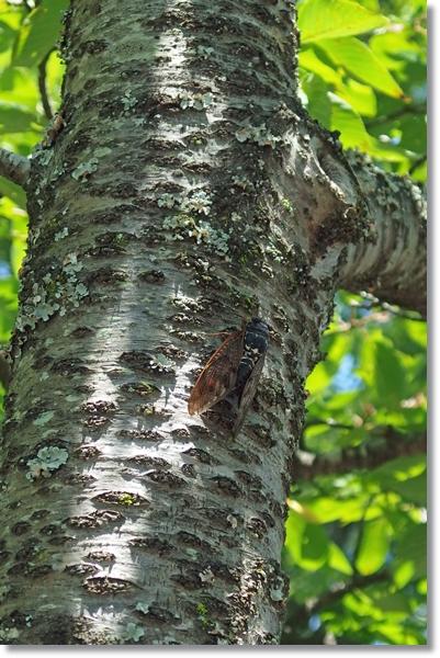 桜の幹にとまったアブラゼミ