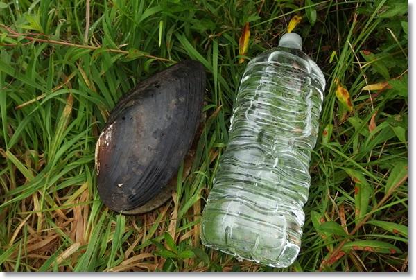 草むらの上にカラスガイと比較用の2Lペットボトル