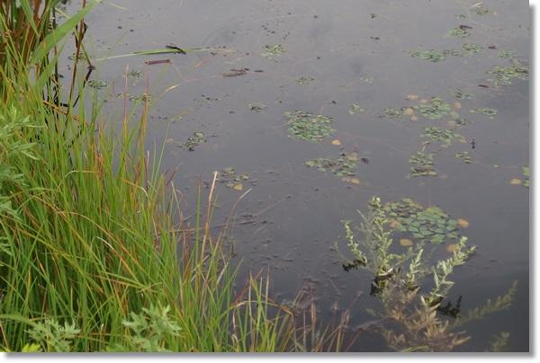 植物が繁茂する溜池