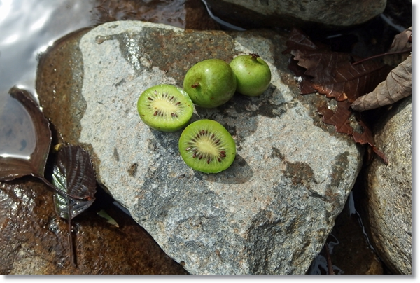 石の上に置いた輪切りにしたサルナシの実