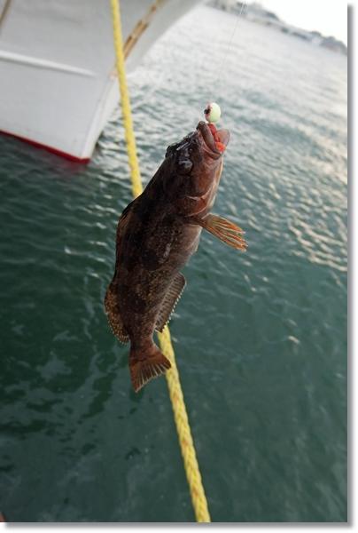 釣り上げたアイナメ