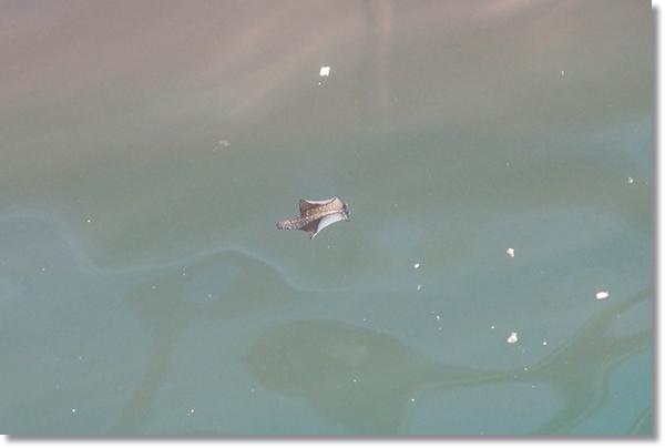泳ぐアメフラシ