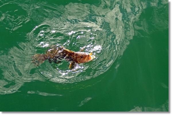 釣り上げられ海面で暴れるアイナメ