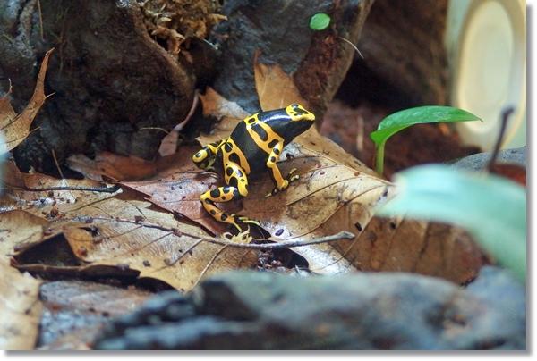 ビバリウムの枯葉の上のキオビヤドクガエル