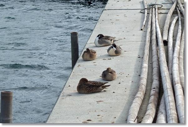 漁港の岸壁で寝ている水鳥