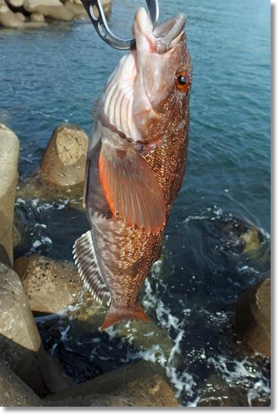 釣れたアイナメをフィッシュグリップで持つ