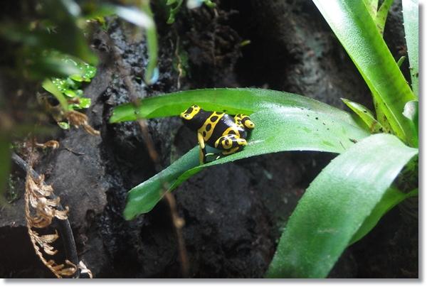 ネオレゲリアの葉に座るオビヤドクガエル