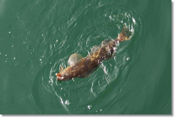 釣り上げられ姿を現したアイナメ