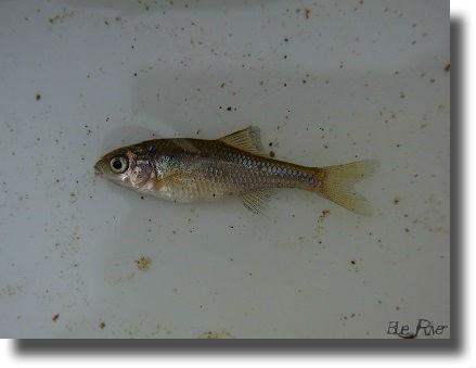 マタナゴの幼魚