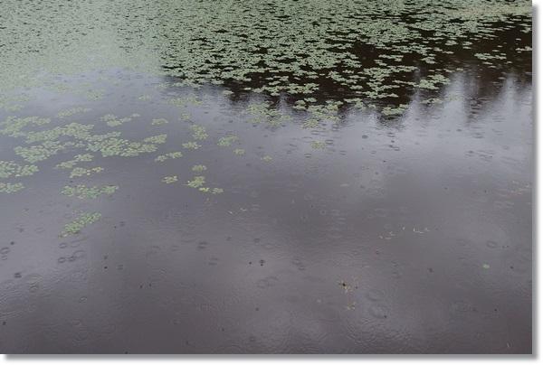 野池とヒシ