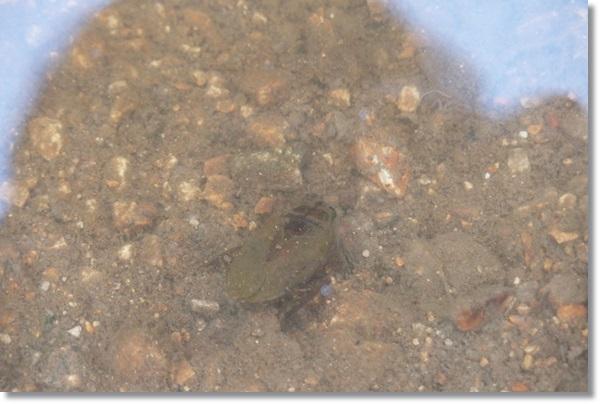 溜池の中のコオイムシ