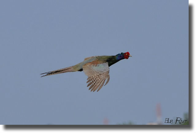 空を飛ぶ雉