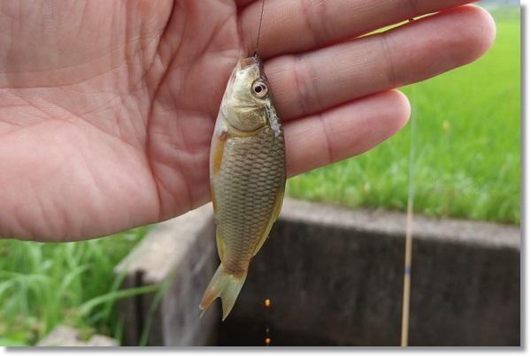 釣り上げたコイの幼魚