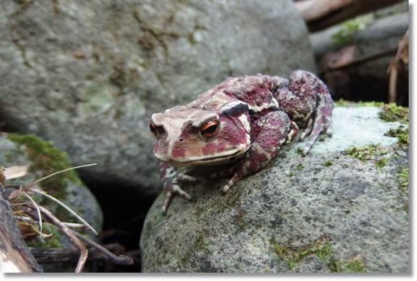 石の上で睨みをきかせるヒキガエル