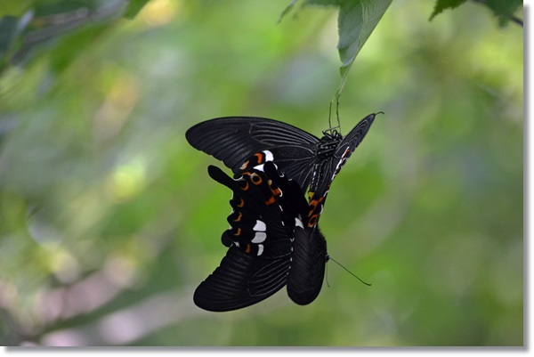 モンキアゲハの交尾