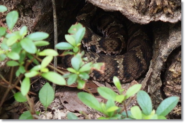 木の洞の中にいるマムシ