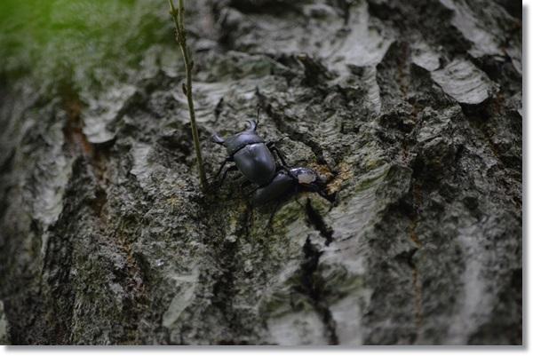 木を登るコクワガタ
