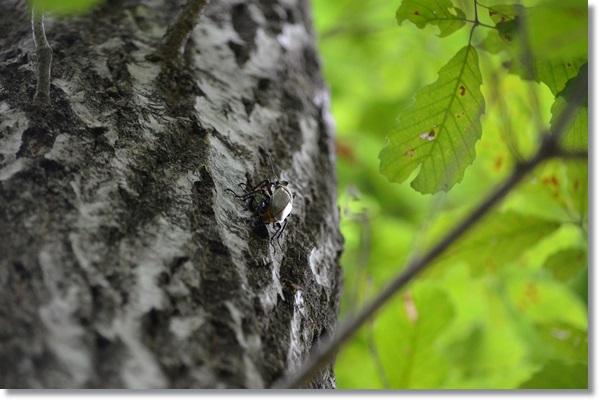 木の上で交尾をするミヤマクワガタ