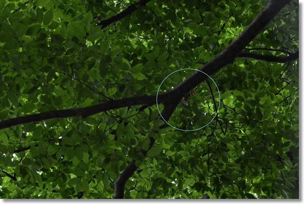 エノキの枝にとまるオオムラサキ