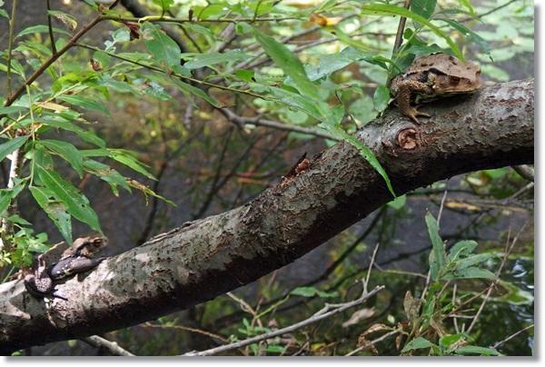 木の上で涼むヒキガエルが2匹