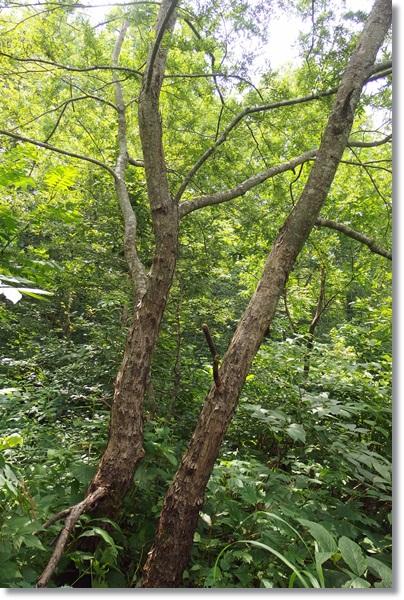 山の中に生える柳の木