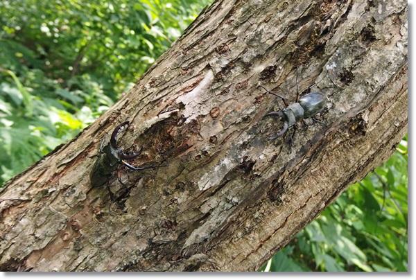 柳の木に張り付くミヤマクワガタ