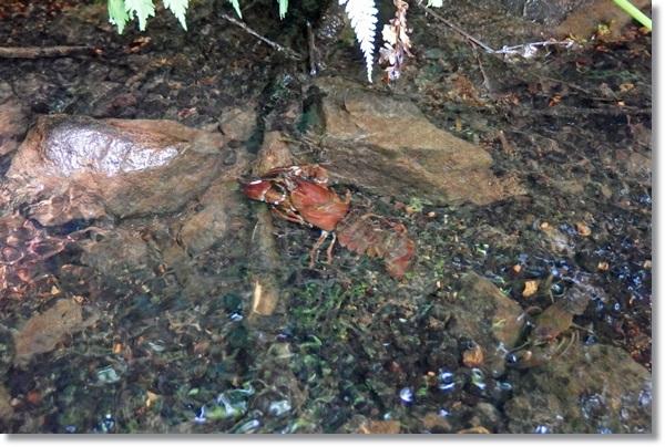水の中を歩くウチダザリガニ