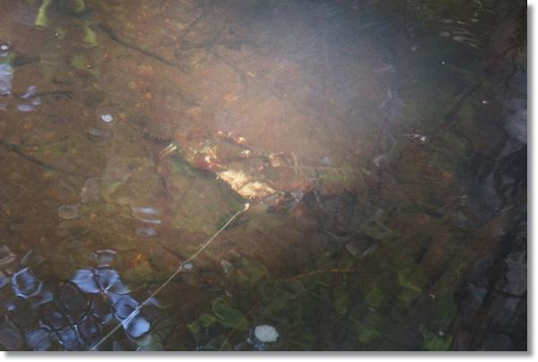 スルメに群がるウチダザリガニ