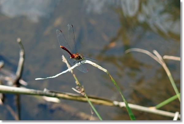 水辺の草にとまるアカトンボ