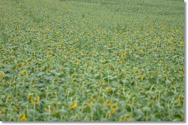 一面のひまわり畑