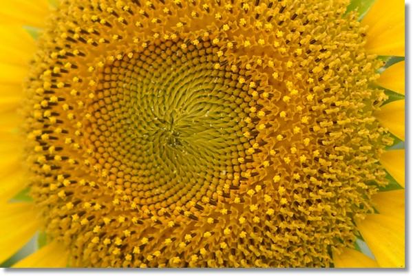 ヒマワリの花のアップ