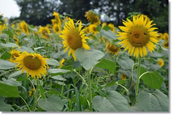 ひまわり畑に一本だけ顔に見えるヒマワリの花
