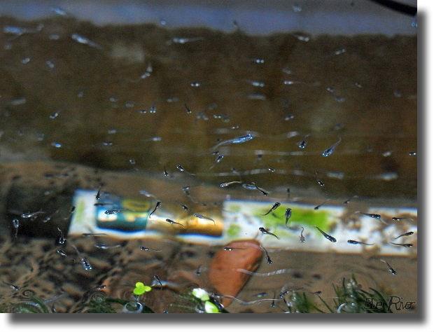 幹之メダカの稚魚がたくさん
