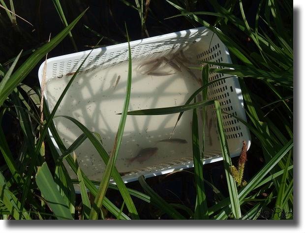 籠に入っている釣り上げたタナゴ