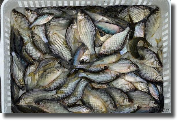 入れ物にいっぱいの釣ったタナゴ