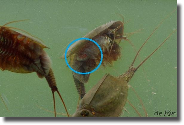 抱卵したカブトエビ