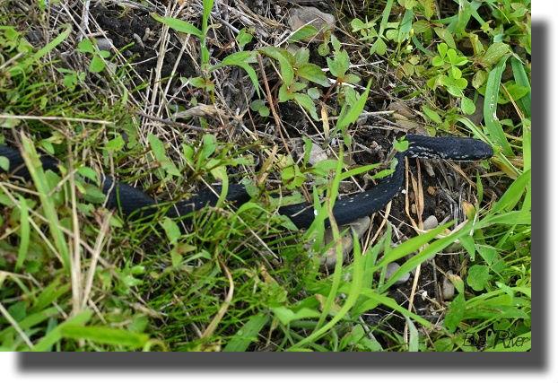 黒化したシマヘビ