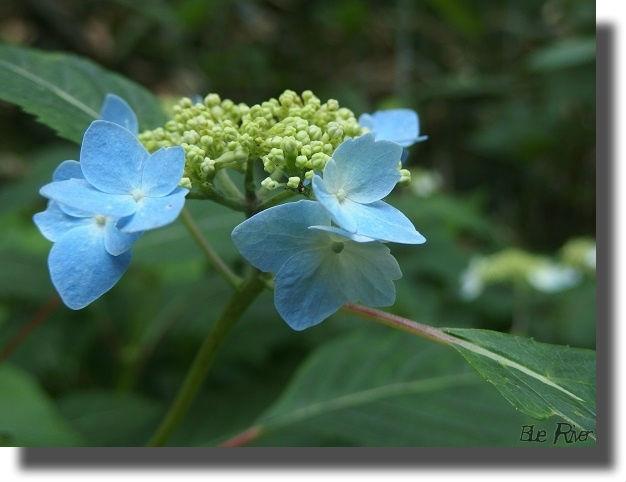 山に咲くアジサイ